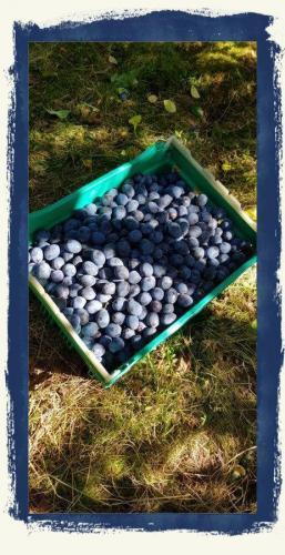 Damson Harvest At Tipsage 2019