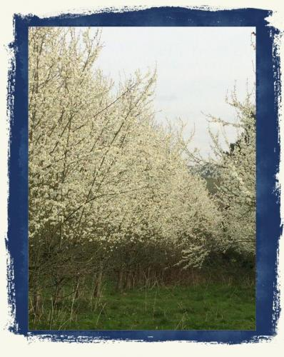 Damson Orchard In Bloom 2019